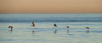 Five pelicans at sunset