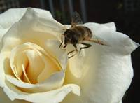 Rose With Bee 2