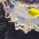 """""""Yellow Tang Fish"""" by cfu1"""