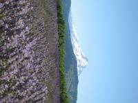 Lavender field with Mt. Hood in background