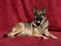 German Shepherd Valentine