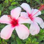 """White Hibiscus"