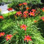 """Red Daylily"