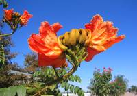 African Tulip Tree ( Red Flower )