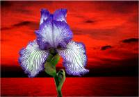Purple Iris & Red Sky