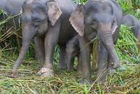 Family of Pigmy Elephant
