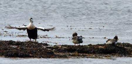 EIDER DUCK AND CHICKS