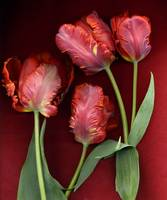 Parrot Tulips on Red