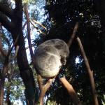 """""""Koala"""" by DeppePhoto25"""