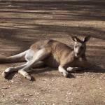 """""""Kangaroo"""" by DeppePhoto25"""