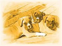 Trio of boxer puppies!!!