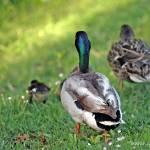 """""""Duck Retreat"""" by SherylKaras"""