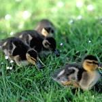 """""""Duckling Parade"""" by SherylKaras"""
