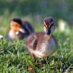 """Duckling"" by SherylKaras"