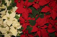 christmas bazaar - poinsettias
