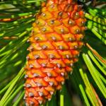 """Golden Pine Cone"" by RogerHarris"