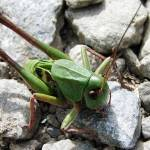 """Giant Bush Cricket"" by davidanderson"