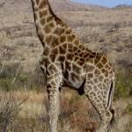 """""""Giraffe"""" by tonia"""