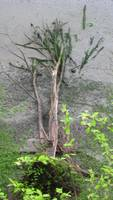 Semi-Submerged Tree