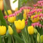 """Yellow Tulips and Bleeding Hearts"" by AndreaMoorePhotography"