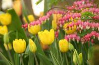 Yellow Tulips and Bleeding Hearts