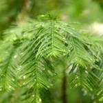 """Dawn Redwood"" by AndreaMoorePhotography"
