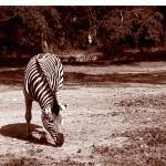 """Zebra Sepia"" by collectionofimages"