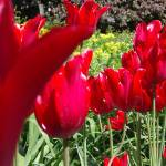 """Red Tulips"" by seeper"