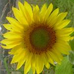 """Sunflower 2"" by tonia"