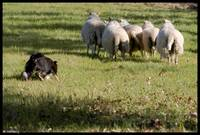 Sheepdog in action