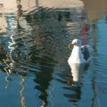 """GullSwim"" by Karlita246"