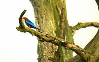 Kingfisher hunting tree