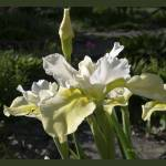 """Butter and Sugar Siberian Iris Flower"" by DogsandFlowers"