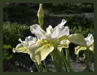 Butter and Sugar Siberian Iris Flower