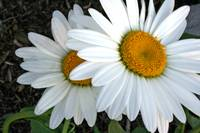 Two Daisy