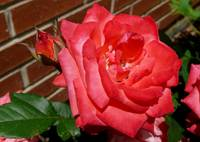 pink rose in front of brick