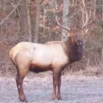 """Posing Elk"" by MaryBeth"