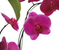Orchids in front of a window