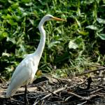 """Greater Egret"" by eyecapture"