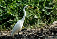 Greater Egret
