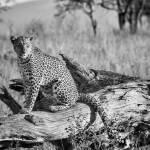 """Serengeti Leopard"" by TroyFeener"