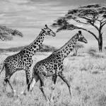 """Serengeti Giraffes"" by TroyFeener"