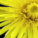 """Dandelion Dandy"" by brianauer"