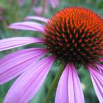 """coneflower"" by saramarie"