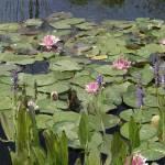 """Water Lilies"" by jimblodget"