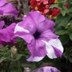 """Purple & White"" by Malibubarb"