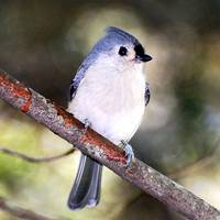 Trance of the Tufted Titmouse