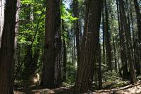 Forest along the north bank of the Yuba River in S