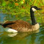 """Canadian Goose"" by jimcorley"