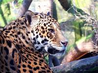 Jaguar (up close)